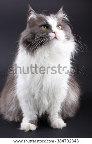 Crossbreed of siberian and persian cat on black background and looking up and down