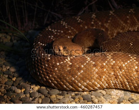 Crotalus also called rattlesnakes, rattlers