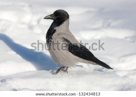 Crow on snow close up in winter day