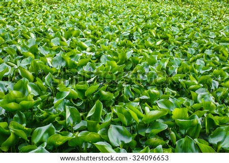 crowd water hyacinth in a pond