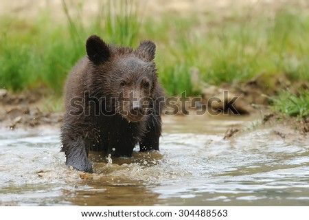 Cub brown bear in the summer natural environment
