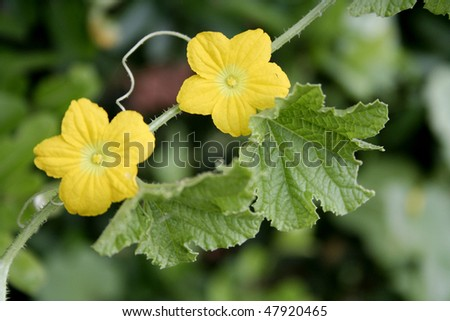 Cucumber plant and flowers