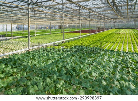 cultivation of vegetables in a greenhouse in the netherlands