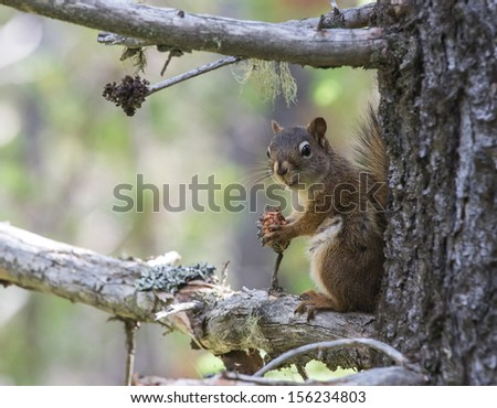 Curious American Red Squirrel on a tree