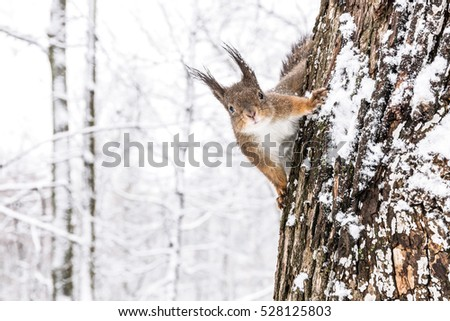 curious fluffy squirrel sitting on tree trunk in winter forest and looking into camera