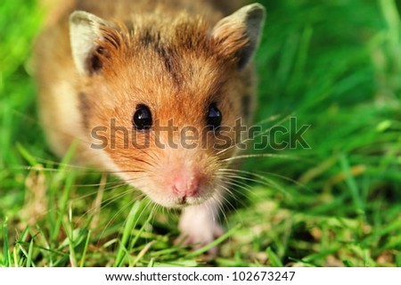 Curious male syrian hamster walking outdoors on the grass, looking straight at the camera.
