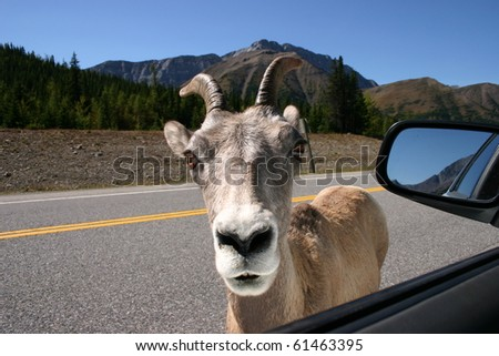 Curious mountain goat looking inside the car
