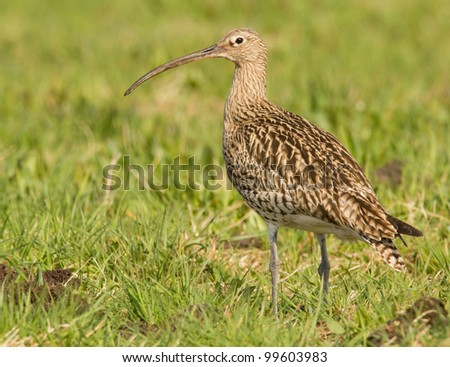 Curlew sitting in the grassy field