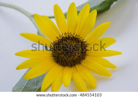 Cut sunflower with leaves lying on a white surface