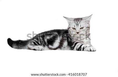 Cute American shorthair cat kitten. Isolated o white background with copy space