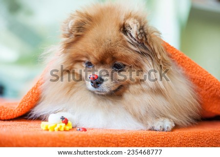 cute and funny pomeranian puppy game with ladybirds on an orange background