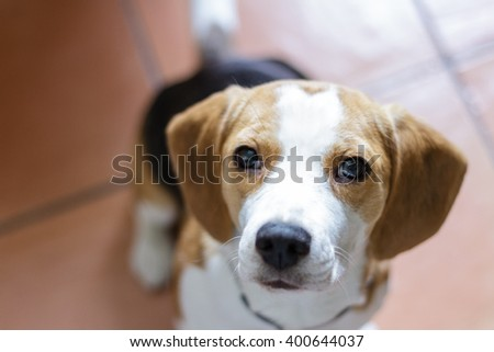 Cute Beagle puppy dog sitting indoors and looking on camera. Selective focus on the eyes.