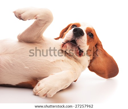 cute beagle puppy (7 months) on a white background