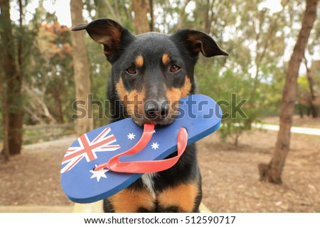 Cute black and tan Kelpie (Australian breed of sheepdog) holding a thong, decorated with the Australian flag, in its mouth.