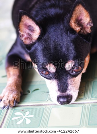 cute black fat lovely miniature pinscher dog with brown dog eyes smiling face close up resting outdoor on a country house's floor portraits view in summer time