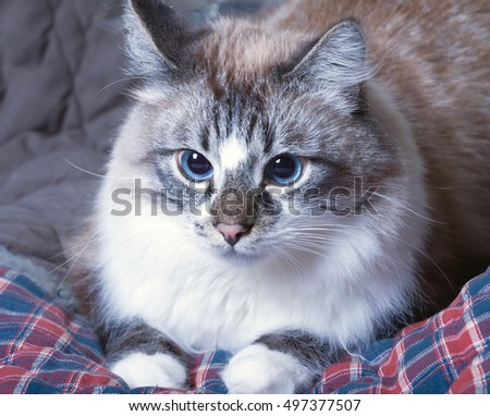 cute blue eyed cat lying on a blanket.toned