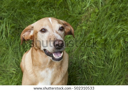 Cute brown dog with a green grass background.