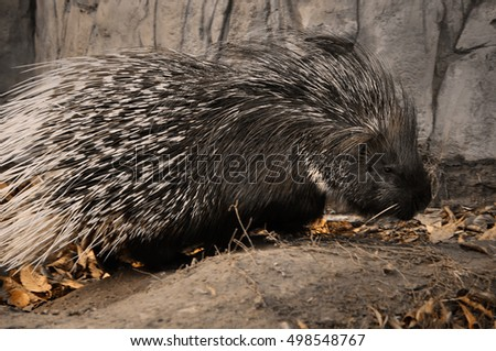 cute busy porcupine/the autumn day of Porcupine