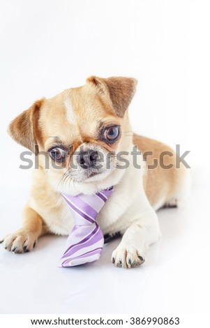 Cute Chihuahua dog wearing a purple tie sitting on the white background.