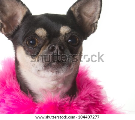Cute chihuahua dressed in pink feathered boa