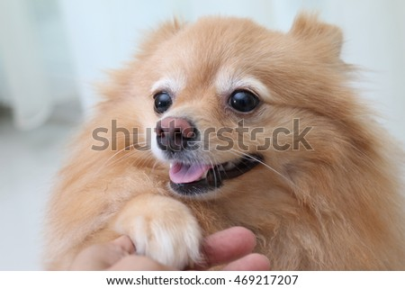 Cute dog pomeranian, pets
