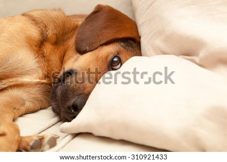 Cute dog resting on the sofa - enhanced colors