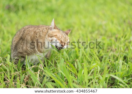 cute domestic cat eat grass in the outdoor