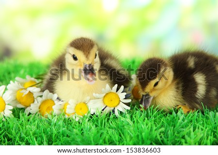Baby duck Stock Photos, Illustrations, and Vector Art
