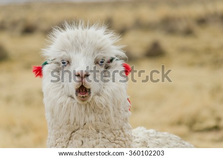 Cute emotional llama with blue  eyes and ear decorations. Altiplano, Bolivia, South America