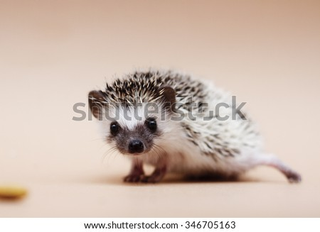 cute fun african pygmy hedgehog baby color algerian grey tobiano pinto with racoon eyes