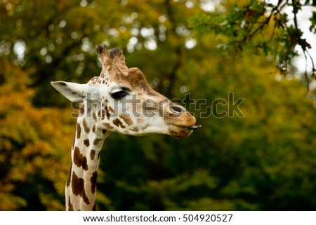 cute giraffes in Knuthenborg safari park in Denmark