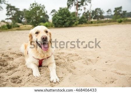 Cute golden retriever in the dunes in Holland