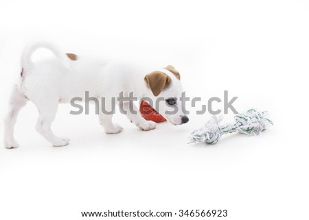 Cute jack russel terrier puppy play on a white background.