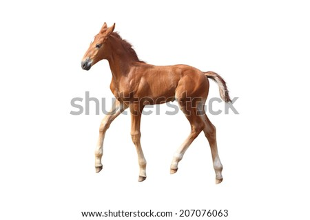 Cute little baby chestnut foal trotting isolated on white