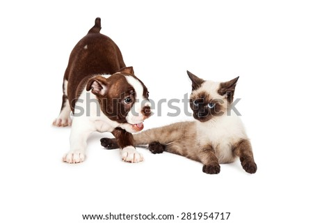 Cute little Boston Terrier puppy bowing down to play with a kitten that is annoyed with her
