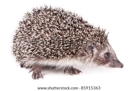 Cute little hedgehog isolated on white.