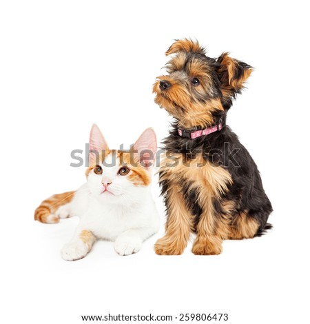 Cute little kitten and Yorkshire Terrier breed dog together looking off to the side