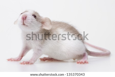 cute little mouse isolated on a white background
