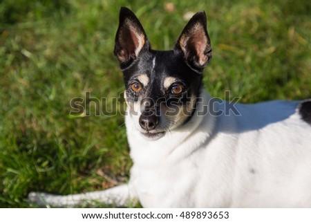 Perky Eared Dogs