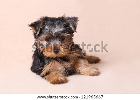 cute little Yorkshire terrier puppy in a basket