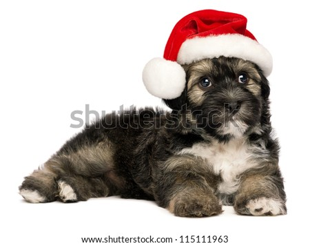 Cute lying  Bichon Havanese puppy dog in a Christmas - Santa hat. Isolated on a white background