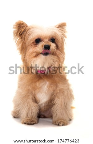 cute mixed breed dog flip tongue isolated in white background