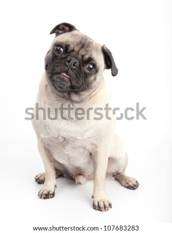 Cute Pug Dog on White Background