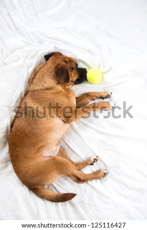Cute Pug Mix on White Sheets Bed with Tennis Ball Toy