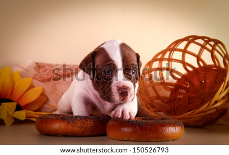 cute puppies pitbull terrier on a colored background