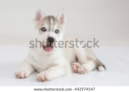 Cute Puppies Siberian husky