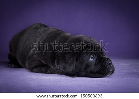 cute puppy dog in the decorations Cane Corso