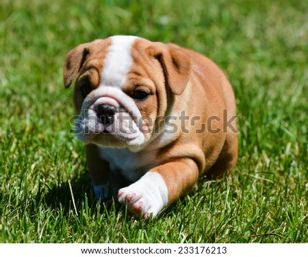 cute puppy running in the grass - english bulldog