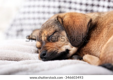 Cute puppy sleeping on sofa at home