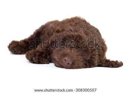 Cute puppy snoozing